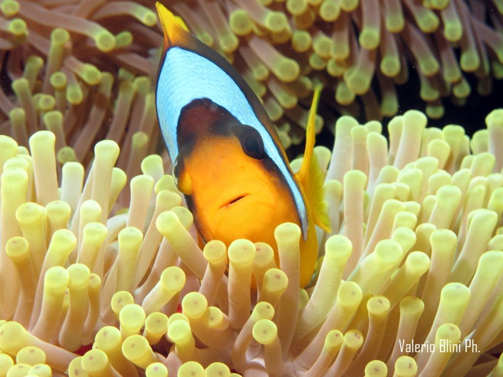 Pesce Pagliaccio - St.John - Mar Rosso